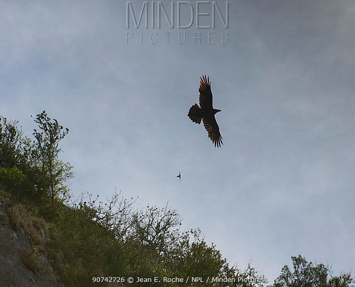Raven (Corvus corax) and House martin (Apus apus) flying, Oppedette Canyon, Haute Provence, France, April.