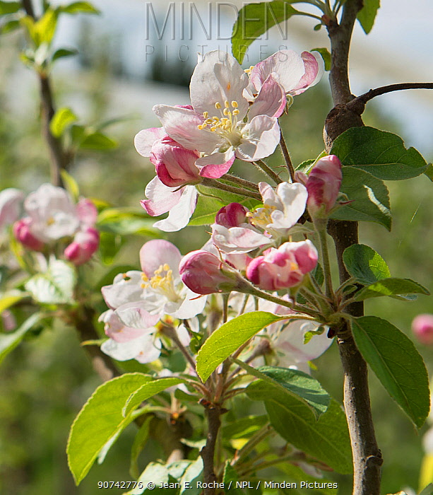 Apple (Malus pumila) blossom in organic orchard, Arles, Camargue, France, April.