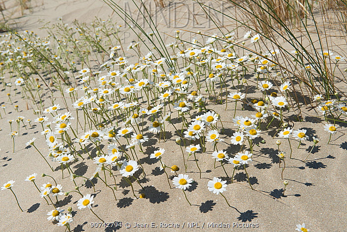Sea chamomile (Anthemis maritima) in sand dunes, Camargue, France, May.