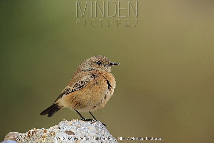 Desert wheatear (Oenanthe deserti) profile, Norfolk, UK.
