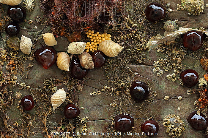 Beadlet anemone (Actinia equina) with Barnacles (Thoracica) Dog whelk (Nucella lapillus) Brittany, France. August 2014
