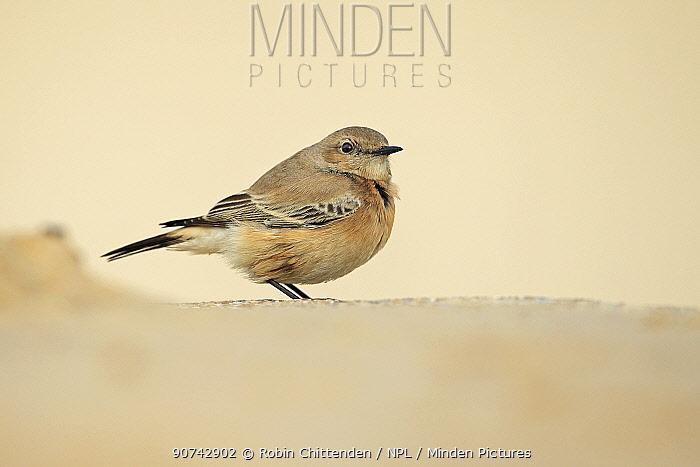 Desert wheatear (Oenanthe deserti) profile, Norfolk, England, UK. November.