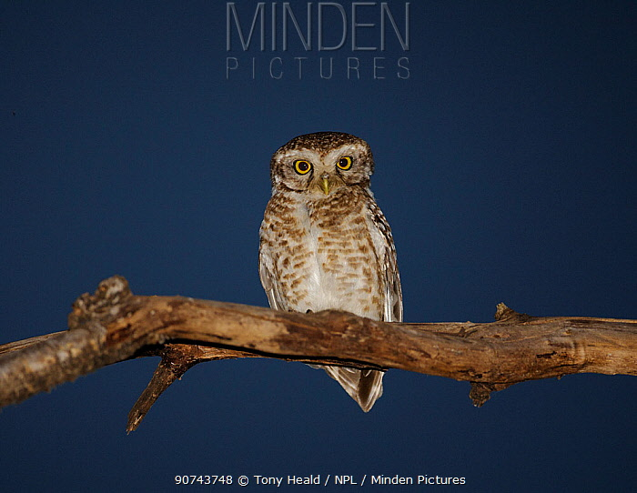 Spotted owlet (Athene brama) perched at night Bandhavgarh National Park,   India.