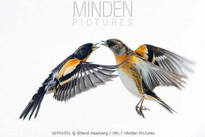 Brambling (Fringilla montifringilla) fighting. Vauldalen, Sor-trondelag. Norway, May.