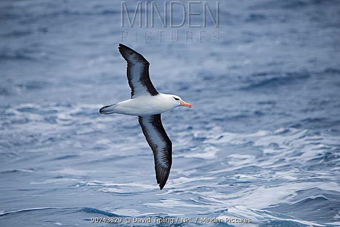 Black-browed albatross (Thalassarche melanophris) flying over South Atlantic off South Georgia, January