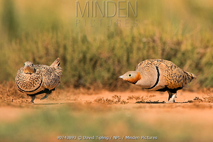Black-bellied sandgrouse (Pterocles orientalis) two drinking at water, Belchite, Aragon, Spain July