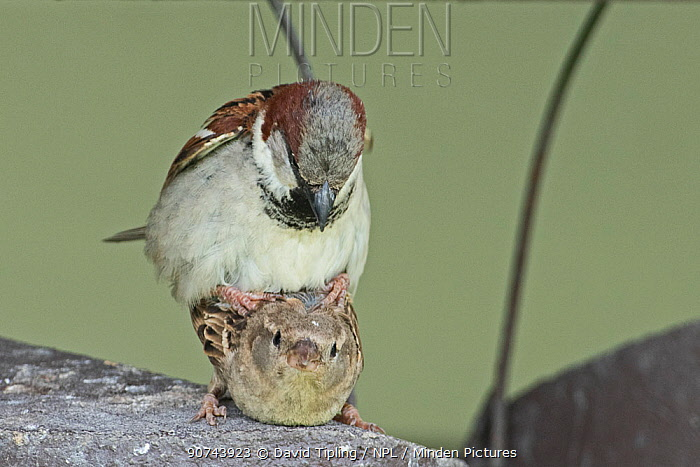 House sparrow (Passer domesticus) pair mating on top of nestbox at breeding colony, Norfolk, UK May