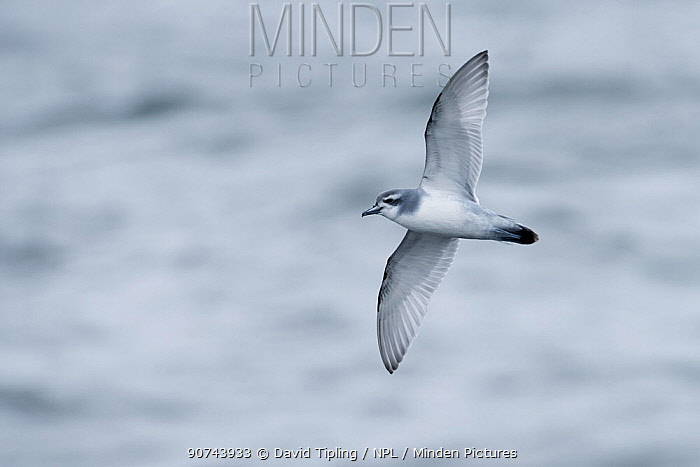 Antarctic prion (Pachyptila desolata) in flight over Southern Ocean off South Georgia, January