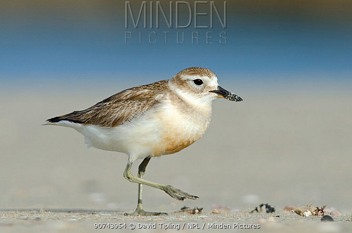New Zealand dotterel (Charadrius obscurus) female walking along beach, North Island, New Zealand, November