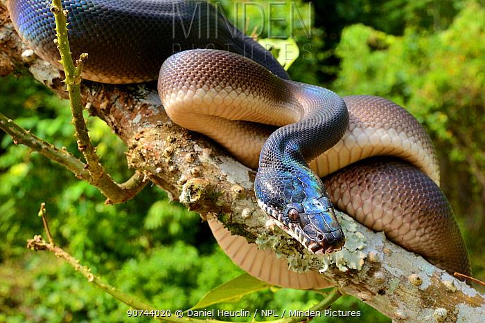 Northern white-lipped python (Leiopython albertisii) in tree, Irian Jaya, Papua New Guinea