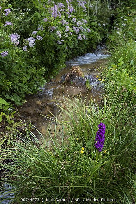 Broad-leaf marsh orchid (Dactylorhiza majalis) growing along Alpine meadow stream. Nordtirol, Tirol, Austrian Alps, Austria.