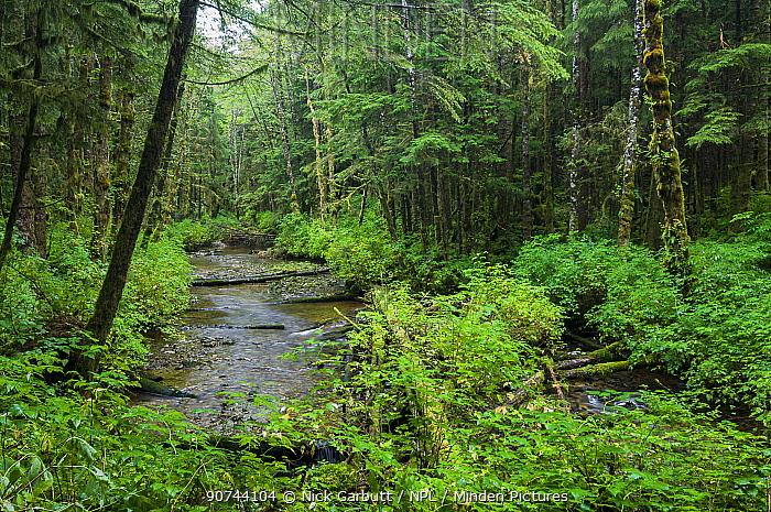 Mixed coniferous forest with Red cedar (Thuja plicata), Sitka spruce (Picea sitchensis), Western hemlock (Tsuga heterophylla) Great Bear Rainforest, British Columbia, Canada. September 2007.