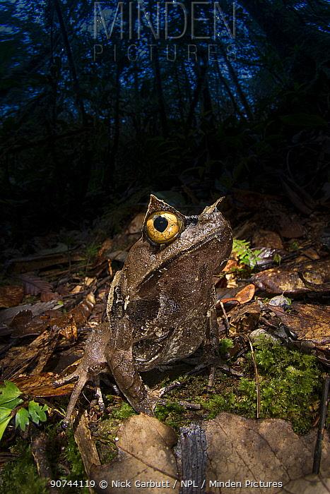 Montane horned frog (Megophrys kobayashii) in the leaf litter at night. Mount Kinabalu (around 1400m asl), Sabah, Borneo,