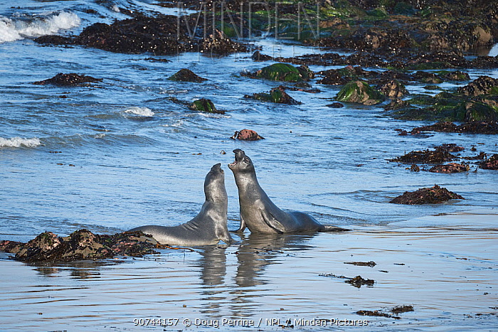 Northern elephant seals (Mirounga angustirostris) young males sparring in the shallows, practising for battles for mating rights when they are older, Piedras Blancas, California, USA June