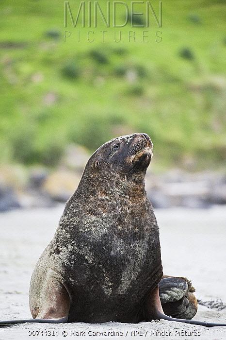 New Zealand sea lion / Hooker's sea lion (Phocarctos hookeri) portrait on beach, South Island, New Zealand, June, endangered species