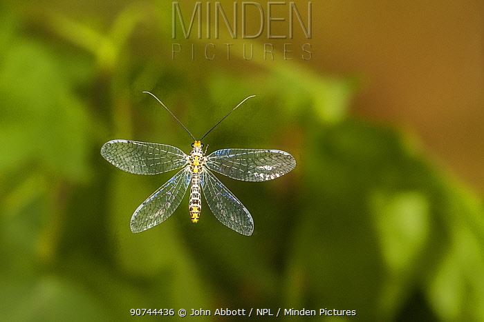 Green lacewing (Abachrysa eureka) flying, Tuscaloosa County, Alabama, USA Controlled conditions. May