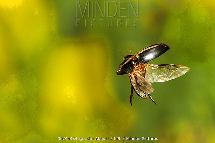 Predaceous diving beetle (Thermonectus basillaris), Tuscaloosa County, Alabama, USA Controlled conditions. July