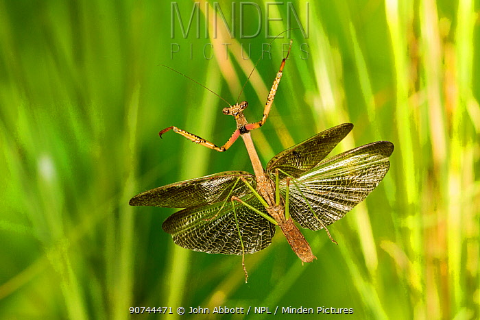 Carolina mantis (Stagmomantis carolina) male flying, Tuscaloosa County, Alabama, USA Controlled conditions. September