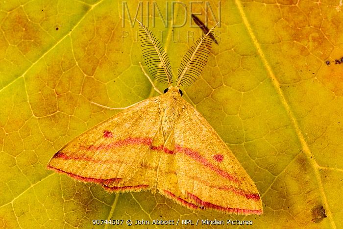 Chickweed geometer moth (Haematopis grataria), Tuscaloosa County, Alabama, USA October