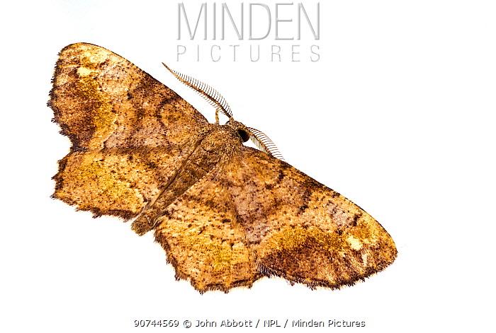 One-spotted variant moth (Hypagyrtis unipunctata) on white background, Tuscaloosa County, Alabama, USA September
