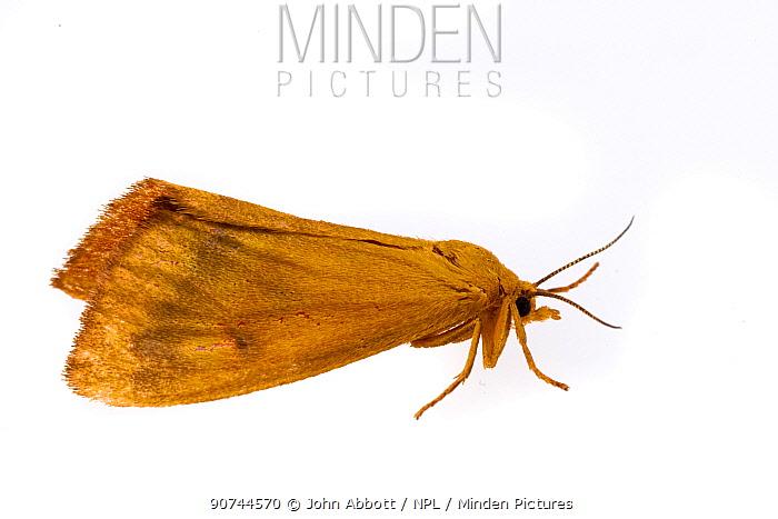 Orange virbia moth (Virbia aurantiaca) on white background, Tuscaloosa County, Alabama, USA October