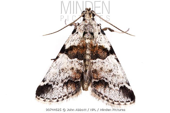 Watson's tallula moth (Tallula watsoni) on white background, Tuscaloosa County, Alabama, USA September