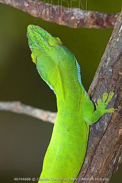 Allison's anole (Anolis allisoni) selective focus on eyes and nose, Banco Chinchorro Biosphere Reserve, Caribbean region, Mexico