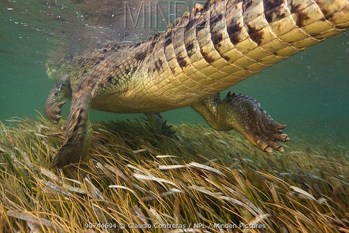 American crocodile (Crocodylus acutus) rear view of animal swimming away seagrass bed, Banco Chinchorro Biosphere Reserve, Caribbean region, Mexico