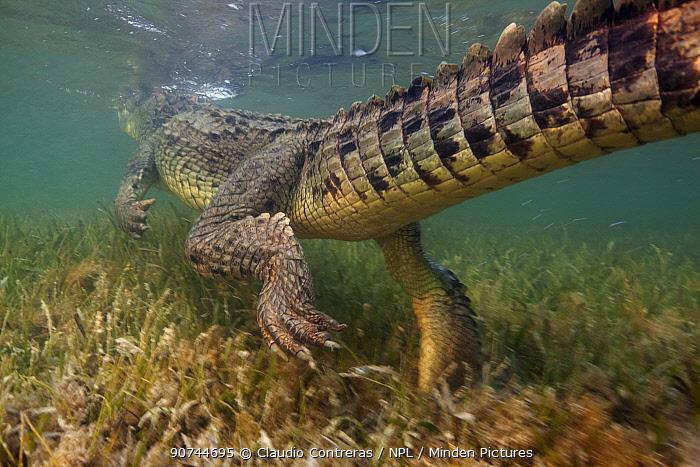 American crocodile (Crocodylus acutus) rear view of animal swimming away over seagrass bed, Banco Chinchorro Biosphere Reserve, Caribbean region, Mexico