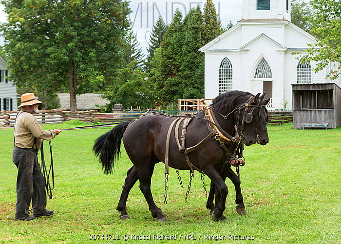 Two Canadian Horse geldings in harness, are led by their handler, at Upper Canada Village Museum, Morrisburg, Ontario, Canada. Critically Endangered horse breed.