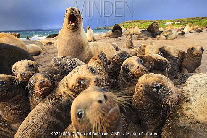 New Zealand sea lion (Phocarctos hookeri) breeding colony at Sandy Bay, Enderby Island, Auckland Islands archipelago, New Zealand. January.