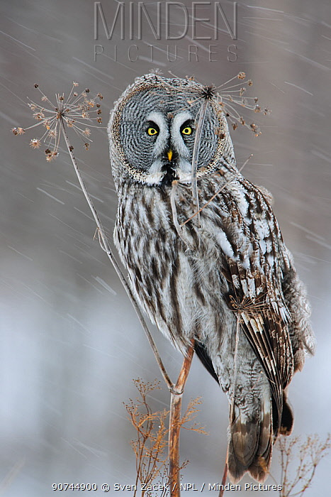 Great grey owl (Strix nebulosa) perched on dead umbellifer plant,  winter, Finland, February.