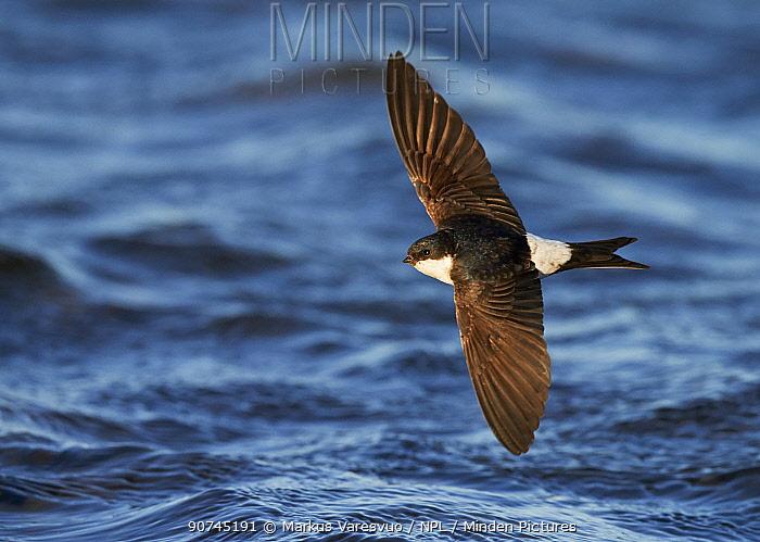 House martin (Delichon urbica) in flight across sea, Finland, July