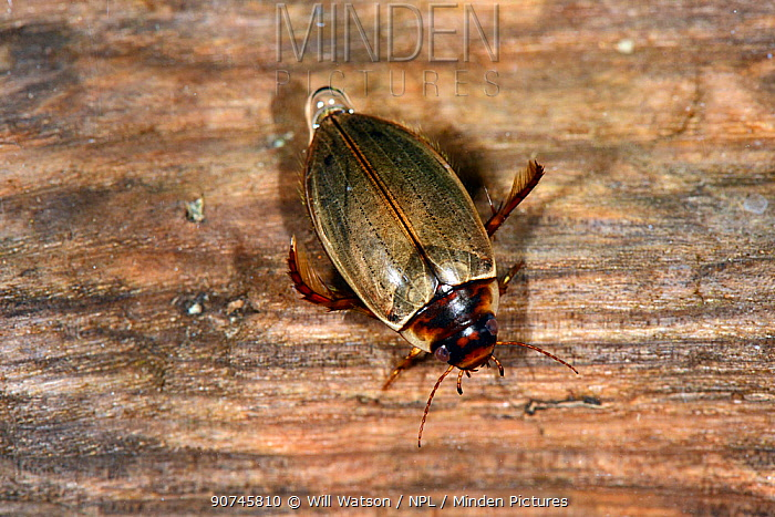Diving Beetle (Colymbetes fuscus) resting on submerged log, captive, Herefordshire, England.