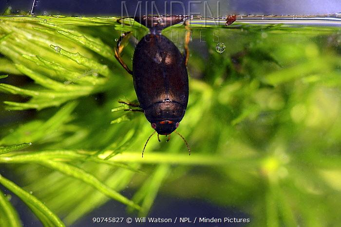 Diving bettle (Agaubus bipustulatus) taking air, Captive, Carmarthenshire, Wales, UK. July.