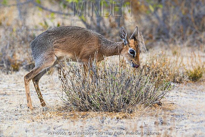 Kirk's dik dik (Madoqua kirki) male grazing on bush, Etosha National Park, Nambia
