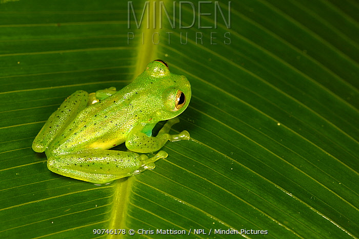 Emerald glass frog (Centrolenella prosoblepon) male, with humeral spines (which help identify this species) visible. Bosque de Paz, Central Highlands, Costa Rica.
