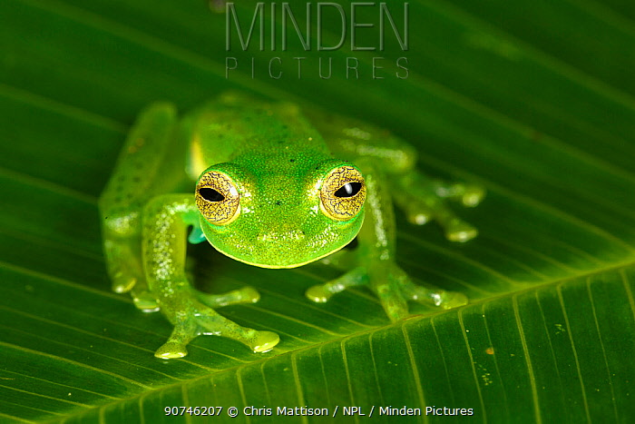 Emerald glass frog (Centrolenella prosoblepon) Bosque de Paz, Central Highlands, Costa Rica.  Note the humeral spines, present only in males, which identifies this species.