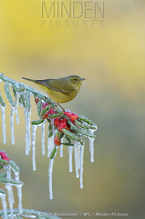 Orange-crowned warbler (Vermivora celata), adult perched on icy branch of Christmas cholla (Cylindropuntia leptocaulis), Hill Country, Texas, USA. January