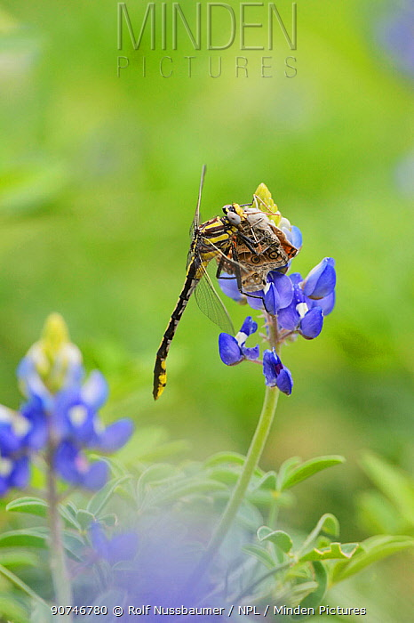 Plains Clubtail (Gomphus externus), adult perched on Texas Bluebonnet (Lupinus texensis) with butterfly prey, Texas, USA. April