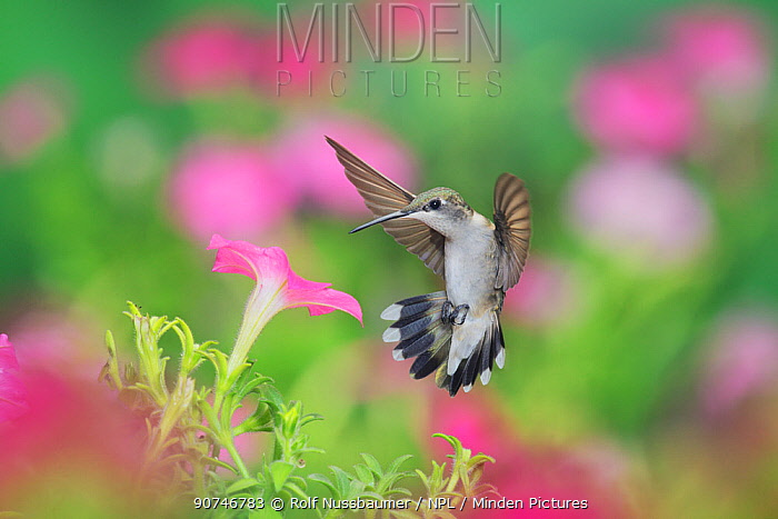 Ruby-throated hummingbird (Archilochus colubris), female in flight feeding on Petunia  flowers, Hill Country, Texas, USA. September