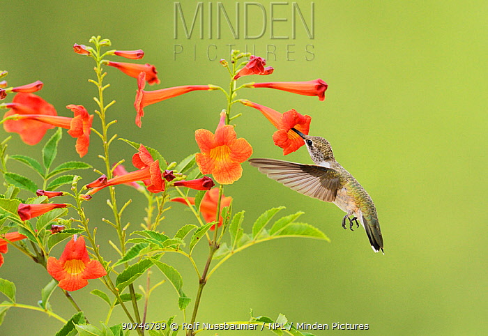 Ruby-throated hummingbird (Archilochus colubris), female in flight feeding on Yellow bells (Tecoma stans) flower, Hill Country, Texas, USA. August