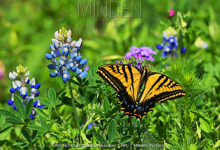 Two-Tailed swallowtail butterfly (Papilio multicaudata), adult perched on Texas Bluebonnet (Lupinus texensis), Texas, USA. April