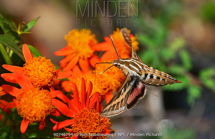 White-lined sphinx (Hyles lineata), adult in flight feeding on Mexican flame vine (Senecio confusus) flower, Hill Country, Texas, USA. March