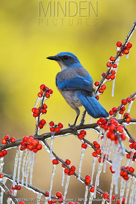 Western Scrub-Jay (Aphelocoma californica), adult perched on icy branch of Possum Haw Holly (Ilex decidua) with berries, Hill Country, Texas, USA. January