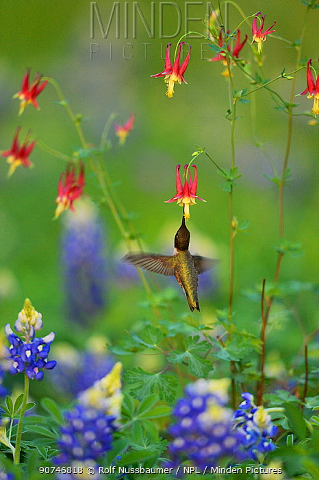Black-chinned hummingbird (Archilochus alexandri), adult male feeding on Red Columbine (Aquilegia canadensis) flowers growing with  Texas Bluebonnet (Lupinus texensis), Hill Country, Texas, USA. April