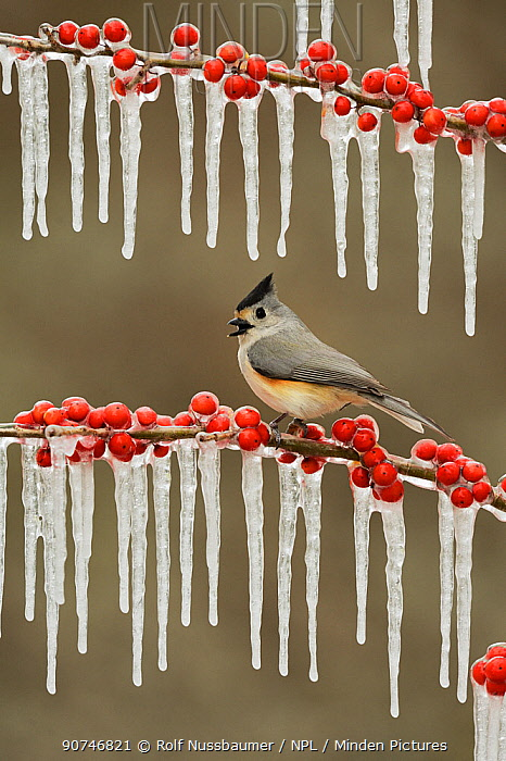 Black-crested titmouse (Baeolophus bicolor), adult perched on icy branch of Possum Haw Holly (Ilex decidua) with berries, Hill Country, Texas, USA. February
