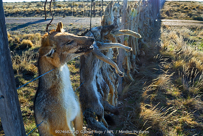 Dead Pampas fox (Lycalopex gymnocercus) Grey fox (Lycalopex culpaeus) and Geffroy's cat (Oncifelis geoffroyi) killed by sheep farmers and hung up to deter others, Patagonia, Argentina