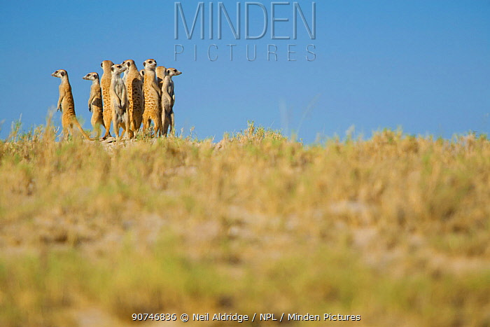 Alarmed by the presence of a predator, a group of meerkats (Suricata suricatta) or suricates, stand together on high ground to survey their territory on the edge of Makgadikgadi Pans National Park, Botswana, April.