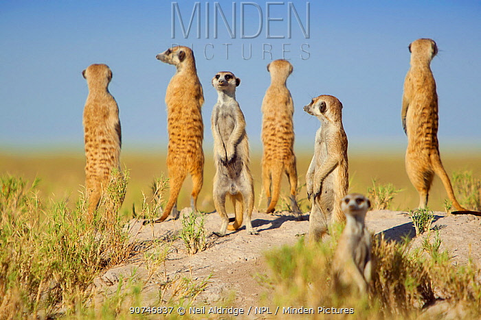 A group of meerkats (Suricata suricatta) or suricates, stand on an old termite mound to gain extra height and watch for predators in their territory on the edge of Makgadikgadi Pans National Park, Botswana, April.